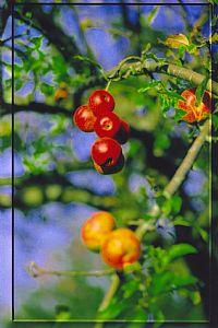 Sidra y Gastronomía.Manzana