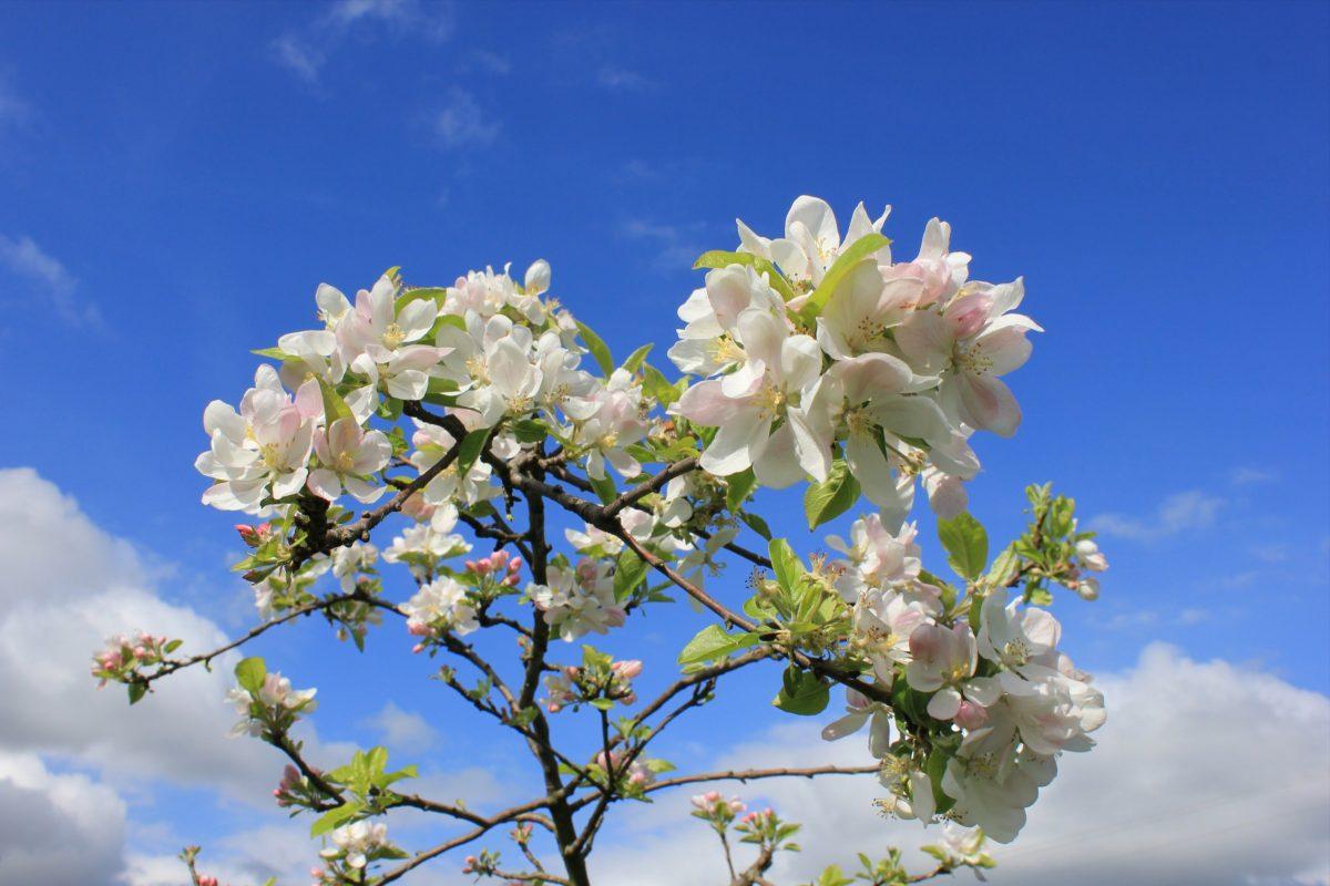 Manzanos florecidos en primavera en la Comarca asturiana de la Sidra