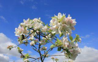 Floración del Manzano en la Comarca de la Sidra, Asturias